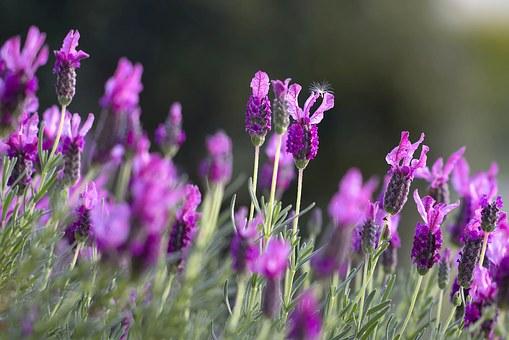 lavendar-1153408__340